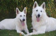Ismerje meg a fehér juhászkutya különlegességeit!